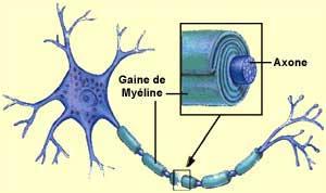 """Résultat de recherche d'images pour """"myélinisation des axones"""""""