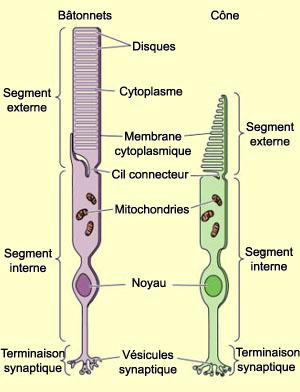 Schéma des photorécepteurs de la rétine humaine