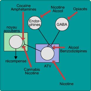 Toutes les drogues semblent augmenter, directement ou            indirectement, la quantité de dopamine dans le circuit de la            récompense.