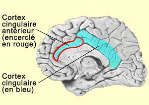 ILLUSTRATION : Gyrus cingulaire antérieur (Source : Le Cerveau à tous les niveaux - McGill)